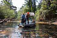 Cleanup workers pick up the fish kill in Porter's River, a backwater outlet off the West Pearl River in St. Tammany Parish Louisiana caused by a discharge from the Temple-Inland paper mill in Bogalusa  of  black liquor, a byproduct of the paper making process, turning the river black  killing fish, shellfish and turtles along 40 miles of the river. The chemicals released into the river depleted oxygen levels which caused the fish kill in the river and its' many tributaries. Clean-up crews were dispatched on the Aug. 18th to remove the dead fish ( including  carp, drum catfish, perch, sac-a - lait , eels , sardines and heel splitter clams) before they sink depleting the waterway of more oxygen causing an even larger environmental disaster.