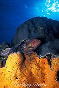 coney grouper, Cephalopholis fulva, <br /> between star coral and elephant ear sponge,<br /> Cozumel, Mexico ( Caribbean Sea )