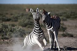 NAMIBIA ETOSHA 28APR14 - A female Zebra and her young seen in the Etosha pan near Okaukuejo, Etosha National Park, Namibia. <br /> <br /> <br /> <br /> jre/Photo by Jiri Rezac<br /> <br /> <br /> <br /> © Jiri Rezac 2014