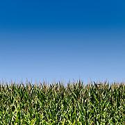Corn fields against blue sky