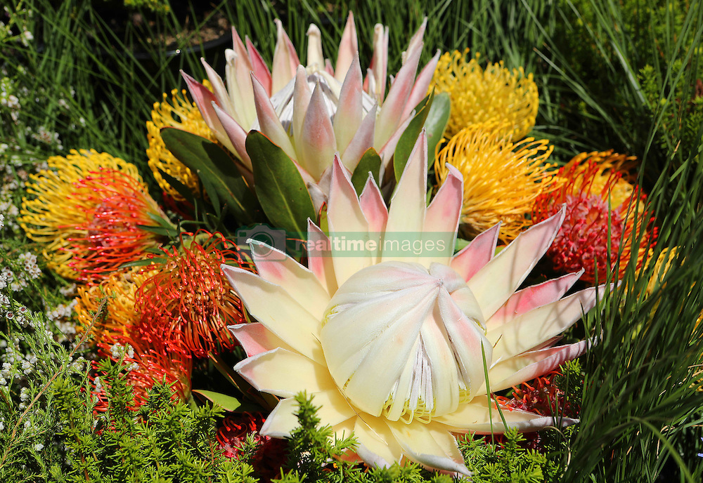 King Proteas during the Cape Town Flower Show held at the Castle of Good Hope between the 27th and the 30th October 2016.<br /> <br /> Photo by Ron Gaunt/ RealTime Images