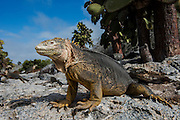 Land Iguana (Conolphus subcristatus)<br /> South Plaza Islet<br /> Galapagos<br /> Ecuador<br /> South America