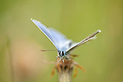 Common Blue Butterfly, Polyommatus icarus, Male, Bucegi mountains high altitude, Romania, head on showing eyes, blue wings