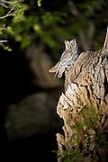 small owl, Eden Camp, Khognoo Khaan National Park, Mongolia