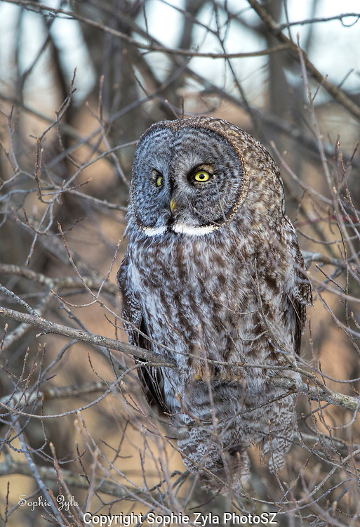 Great Gray Owl just watching