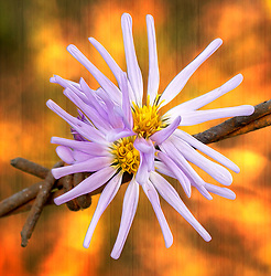 The Douglas Aster is an Rhizomatous perennial wildflower with much-branched stems and light purple aster-like flower heads. It has Ray flowers are blue to purple and disk flowers are yellow. The flowers are 1-2 cm long. A distinguishing characterisitic of Douglas aster is its thick overlapping bracts beneath each flower head. Also, outer margins of thegracts have a thin, transparent (waxy/papery) look.<br /> <br /> The Painted lady butterfly, red admiral, spring azure, orange sulphur, and woodland skipper butterflies are attracted to the flowers.<br /> <br /> The Douglas Aster (Subspicatum) is generally described as a perennial forb/herb. This is native to the U.S. (United States) has its most active growth period in the spring and summer . The Douglas Aster (Subspicatum) has green foliage and inconspicuous purple flowers, with an abuncance of conspicuous brown fruits or seeds. The greatest bloom is usually observed in the late summer, with fruit and seed production starting in the summer and continuing until fall. Leaves are not retained year to year. The Douglas Aster (Subspicatum) has a short life span relative to most other plant species and a rapid growth rate.