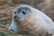 Grey seal pup in the sandy/grassy dunes at Donna Nook, Lincolnshire