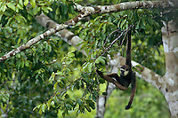 A Bornean White-bearded Gibbon (Hylobates albibarbis) hangs from a tree in Gunung Palung National Park, Borneo.