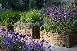Herbs planted in woven willow raised beds in the Daylesford Organic Summer Solstice Garden. Planting includes Mentha x veticillata ( mint ) and Salvia officinalis ( sage ) with lavender edging in the foreground