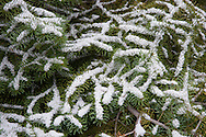 lodgepole pine branches with an early autumn snow coats the branches in the forest in Yellowstone National Park, Wyoming, USA