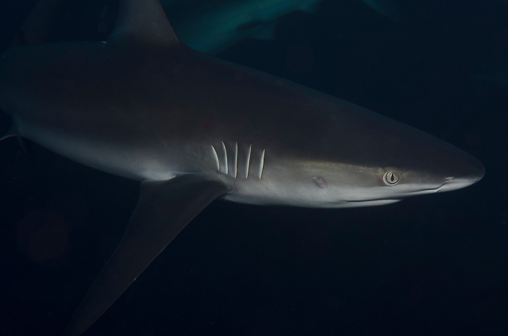 Kermadec, Kermadec Islands, Rangitāhua, New Zealand, remote, diving, rare, nz, shark, Galapagos shark, Carcharhinus, galapagensis