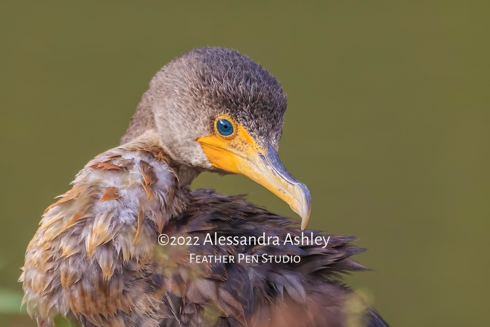 Double crested cormorant on muddy banks of Clear Fork reservoir, partially concealed by foliage, drying feathers after fishing. Image placed as semifinalist in 2015 Share the View international nature photography competition by Audubon Society of Greater Denver.