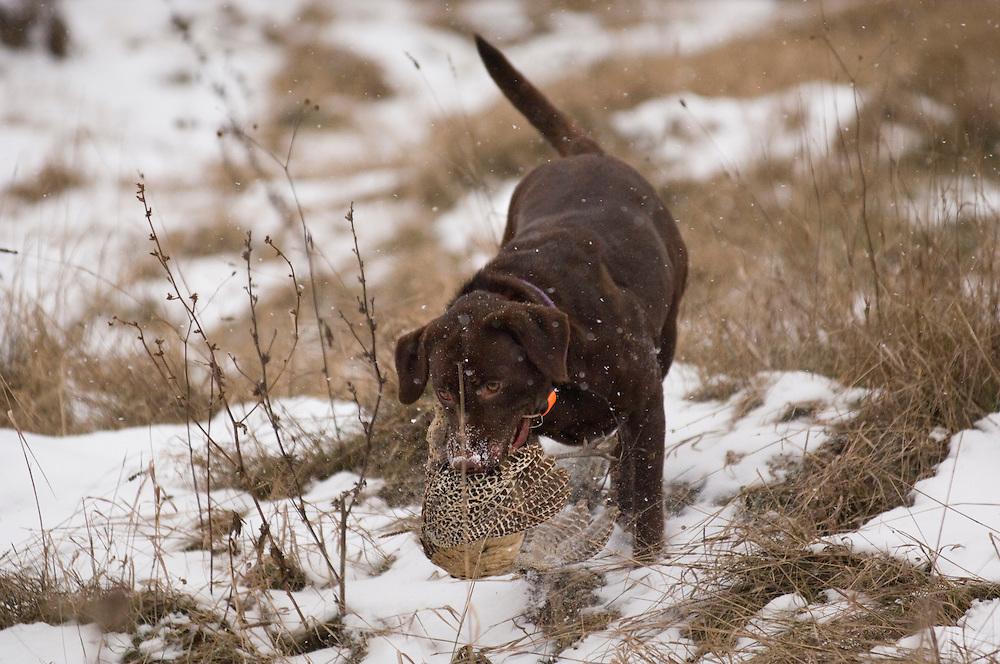 A female chocolate labrador retriever retrieves a pheasant while hunting in Michigan's Upper Peninsula on a game farm.