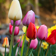 A flower bed of tulips. Photo by Adel B. Korkor.