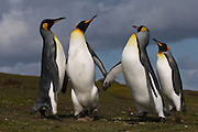 King Penguins (Aptenodytes p. patagonica)<br /> Volunteer Point, Johnson's Harbour, East Falkland Island. FALKLAND ISLANDS.<br /> RANGE: Circumpolar, breeding on Subantarctic Islands. Extensive colonies found in South Georgia, Marion, Crozet, Kerguelen and Macquarie Islands. The Falklands represent its most northerly range. They are highly gregarious which probably accounts for it common association with colonies of Gentoo Penguins.<br /> King Penguins are the largest and most colourful penguins found in the Falklands. They have a unique breeding cycle. The incubation of one egg lasts for 54-55 days and chick rearing 11-12 months. As the complete cycle takes more than one year a pair will generally only breed twice in three years.