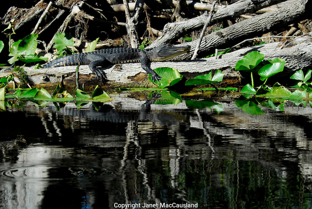 An American Aligator is sunning on a log in Silver River, Central Florida.