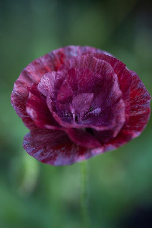 Papaver rhoeas 'Pandora' - common poppy