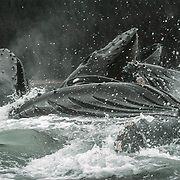 I became very familiar with the individual whales that made up the cooperative bubblenet feeding groups. I could identify them by their flukes, markings on their throats, barnacles and even sometimes by the sounds they made.<br />
