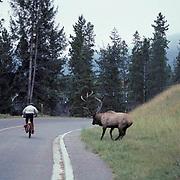 Elk, (Cervus elaphus) bull in rut charges passing bicyclist. Fall.