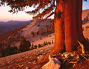 Bristlecone Pine above the Cottonwood Basin,The White Mountains, California