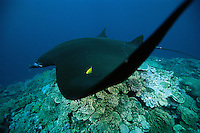 A giant manta (Manta birostris) with a golden trevally (Gnathanodon speciosus) in its wing.