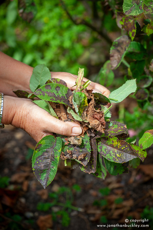 Removing leaves from roses that are badly affected with black spot - Diplocarpon rosae