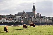 Nederland, Nijmegen, 3-2-2019 Wilde runderen grazen op het Lentereiland, Veur Lent, het eiland dat is ontstaan door de aanleg van de nevengeul tegenover de stad. Natuurbegrazing door het uitzetten van Schotse Hooglanders. De grazers lopen op de oever en houden de begroeing laag en divers. Ze zijn uitgezet door de stichting Taurus die zich ook bezighoudt met het terugfokken van het Europese oerrund, de oerkoe. Foto: Flip Franssen