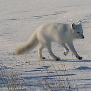 Arctic Fox (Alopex lagopus) Running. Churchill, Manitoba. Canada.