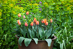 Tulipa 'Prinses Irene' with the foliage of Dianthus barbatus 'Oeschberg' (sweet william ) in a copper pot in front of smyrnium
