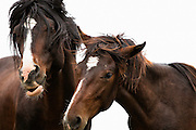 """Tracie spence photographed 2 wild mustangs playing and frolicking together.  She thought about naming this piece """"Moves Like Jagger"""" because the male horse with black hair looks so much like Mick Jagger, crazy horses, silly horses, fighting horses,"""