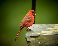 Male Northern Cardinal. Image taken with a Nikon D4 camera and 600 mm f/4 VR lens (ISO 250, 600 mm, f/4, 1/400 sec).