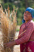 Collecting hay into bundles in Nepal. 66% of the Nepali population work in agriculture and it provides approximately 33% of GDP. Nepal remains one of the poorest countries in Asia with a per capita GDP of $562.