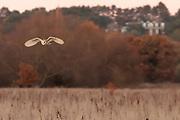 Barn owl (Tyto alba) hunting. Surrey, UK.
