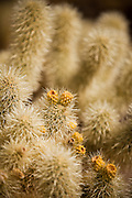 Teddy Bear Cholla (Opuntia bigelovii) in the Cholla Cactus Garden on the northwestern bajadas of Joshua Tree's Pinto Basin Joshua Tree, CA.