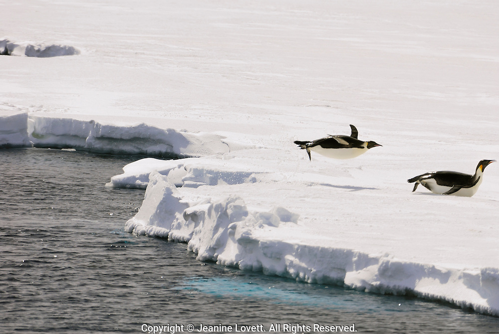 Emperor Penguins jumping out of the sea to toboggan on the ice.