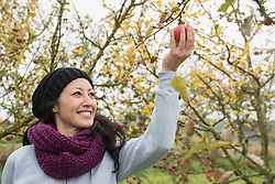 Woman picking an apple from a tree in an apple orchard, Bavaria, Germany