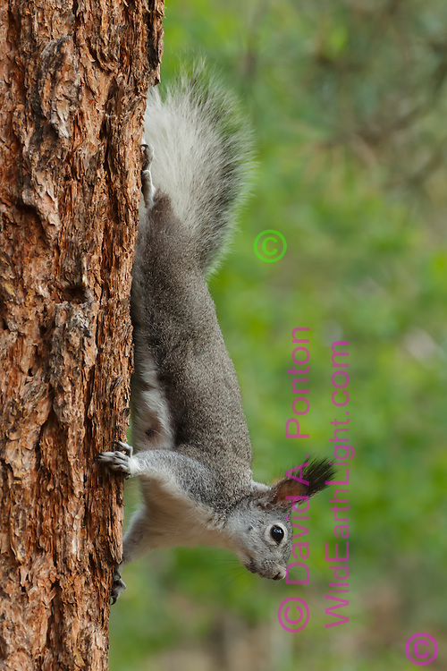 Abert's squirrel descends trunk of mature ponderosa pine, with its characteristic large ear tufts prominent, Jemez Mountains, NM, © David A. Ponton