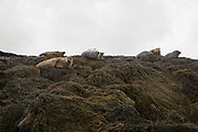 Seals relaxing on a rocky island on Loch Dunvegan on 3rd September 2016 on the Isle of Skye in Scotland in the United Kingdom.
