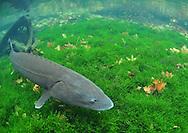 White Sturgeon<br /> <br /> Paul Vecsei/Engbretson Underwater Photography