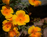 Yellow California Poppy. Image taken with a Leica CL camera and 60 mm f/2.8 lens (ISO 100, 60 mm, f/5.6, 1/2000 sec).