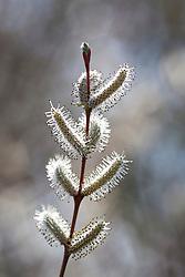Catkins of Salix purpurea 'Nancy Saunders'. Willow