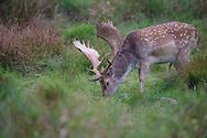 Fallow deer, Dama dama, Dyrehaven Royal deer park, Klampenborg, Copenhagen, Denmark. Large enclosure