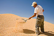 05 MAY 2008 -- BUCKEYE, AZ: ANGEL VARGAS, a worker at Heiden Land & Cattle Company, works in a mountain of corn in the mill at the feed lot in Buskeye, AZ. Les Heiden, owner of the Heiden Land & Cattle Company, said his corn prices have gone up by 123% since May, 2006. He attributes about 85 percent of the price increase to the ethanol industry, which he said his buying five times more corn now than they were two years ago. Heiden feeds about 4,500 head of cattle in his feed lot, which is west of Phoenix.  Photo by Jack Kurtz