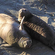 Northern Elephant Seal, (Mirounga angustirostris)  Baby pups called wieners resting on beach. Central California.