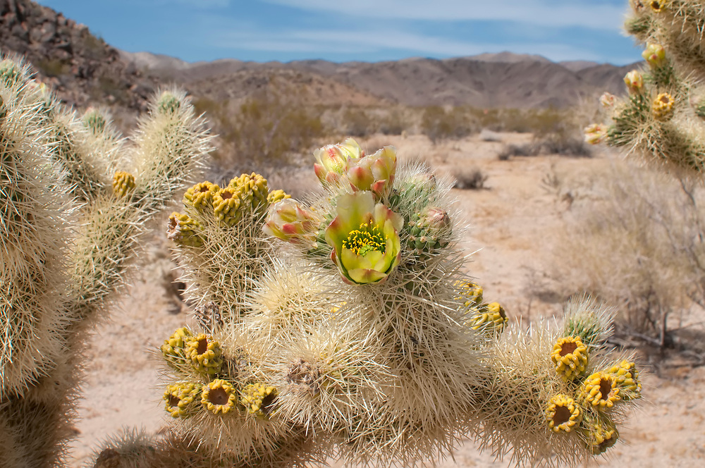 It's been discoved that these highly-dense covering of pale spines not only deter animals from eating it, but also reflect heat, keeping the cactus cool and shaded at the same time.