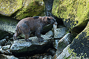 An adult American black bear carries a freshly caught salmon up a rocky outcropping in the temperate rain forest at Anan Creek in the Tongass National Forest, Alaska. Anan Creek is one of the most prolific salmon runs in Alaska and dozens of black and brown bears gather yearly to feast on the spawning salmon.