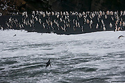 Surf crashing on the black sand beach on Half Moon Island, home to over 3000 pairs of chinstrap penguins, many with chicks at this time of year?late in the Antarctic summer.
