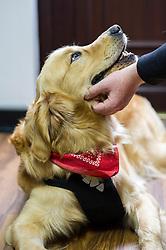 Labrador retriever during a consultation at Rushcliffe Veterinary Centre, West Bridgford, Nottingham NG2 7LR.<br /> Photo: Ed Maynard<br /> 07976 239803<br /> www.edmaynard.com