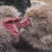 Snow Monkey, adult male being groomed by a female in the hot pool of Jigokudani Monkey Park in Japan.