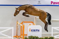 001, A La Minute Z<br /> KWPN Hengstenkeuring 2021<br /> © Hippo Foto - Dirk Caremans<br />  03/02/2021